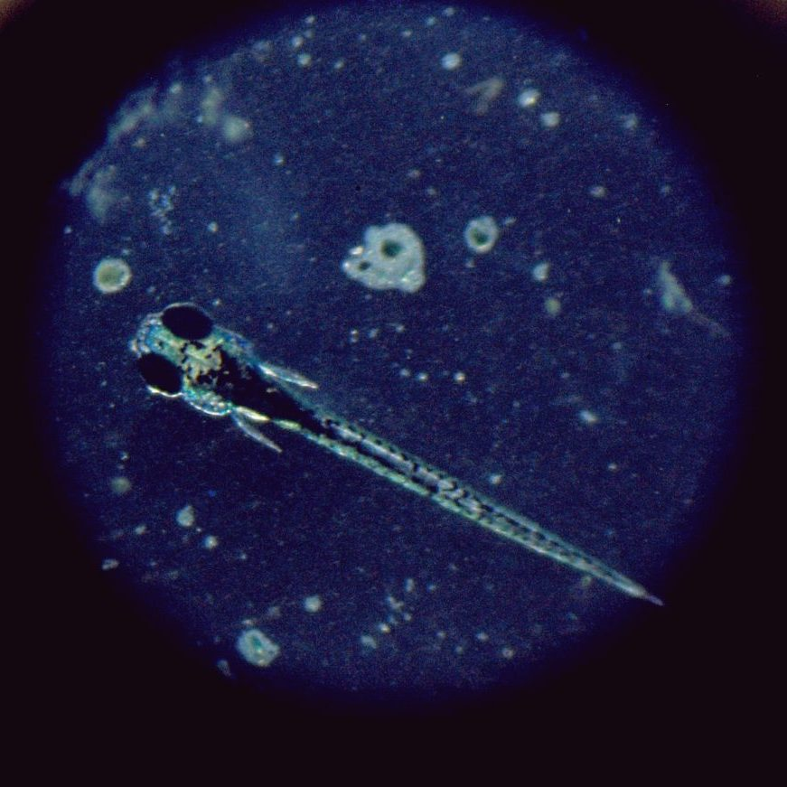 zebrafish larva through microscope